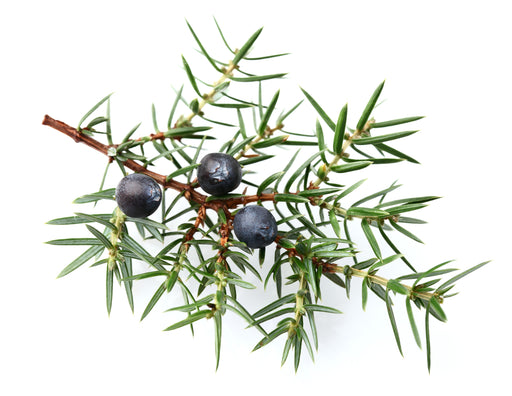 Juniper Berry Essential Oil (India) - Sunrise Botanics