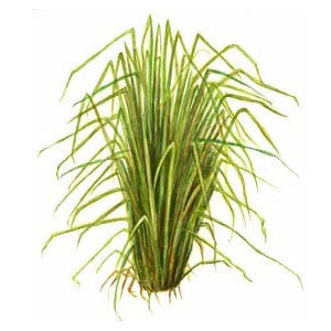 Vetiver Essential Oil - Sunrise Botanics