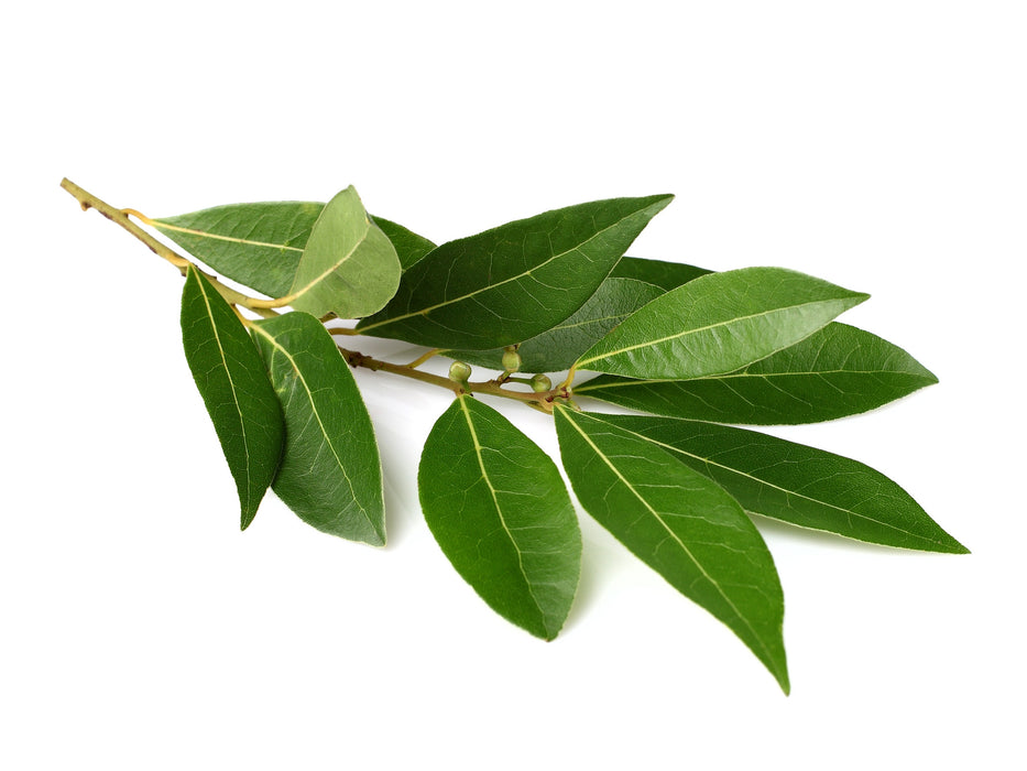Laurel Leaf Essential Oil (Spain) - Sunrise Botanics