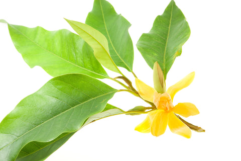 Michelia Alba Leaf Essential Oil - Sunrise Botanics