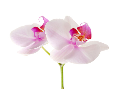 Orchid Fragrance Oil - Sunrise Botanics