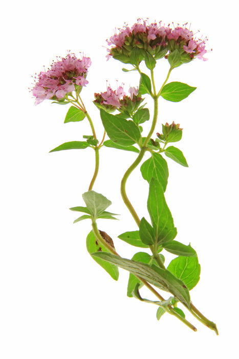 Origanum Essential Oil (Spain) - Sunrise Botanics