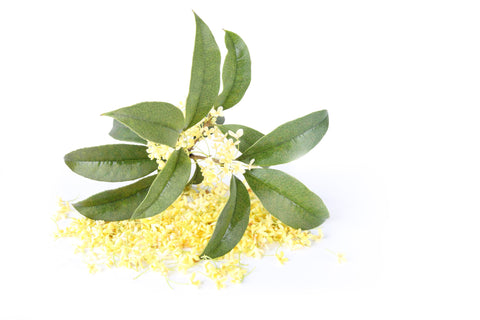 Osmanthus Absolute - Sunrise Botanics