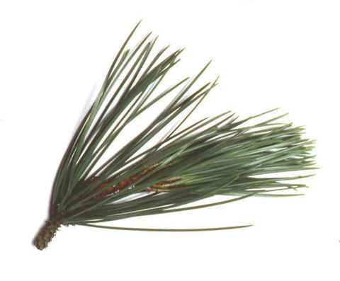 Pine Long Leaf Essential Oil - Sunrise Botanics