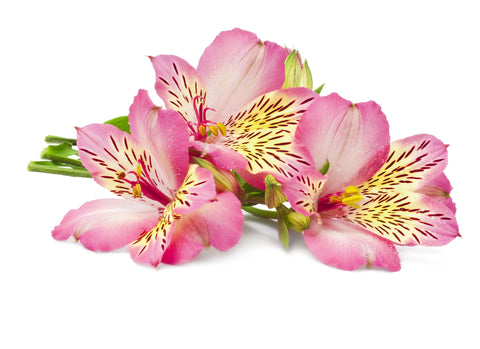 Pink Chiffon Fragrance Oil - Sunrise Botanics