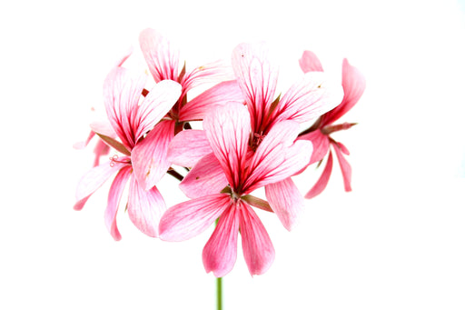 Rose Geranium 5% - Sunrise Botanics