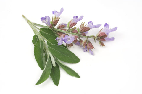 Sage Dalmatian Essential Oil (Ukraine) - Sunrise Botanics