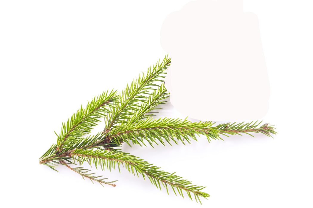 Spruce White Essential Oil - Sunrise Botanics