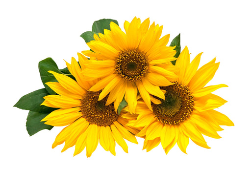 Sunflower Carrier Oil Organic - Sunrise Botanics