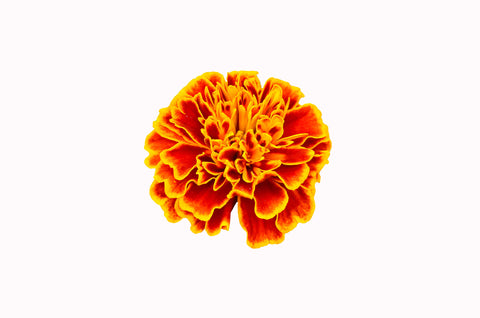 Tagetes Essential Oil (Egypt) - Sunrise Botanics