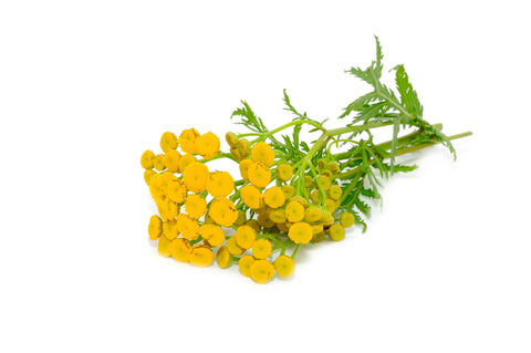 Tansy Blue Essential Oil (Morocco) - Sunrise Botanics