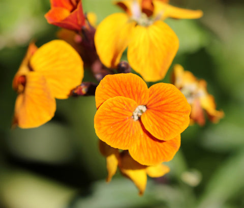 Wallflower Absolute - Sunrise Botanics