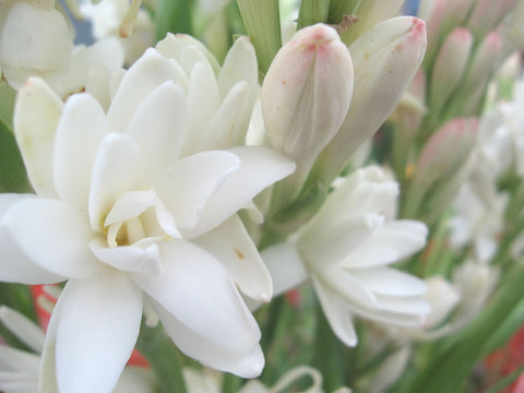 Tuberose Absolute - Sunrise Botanics