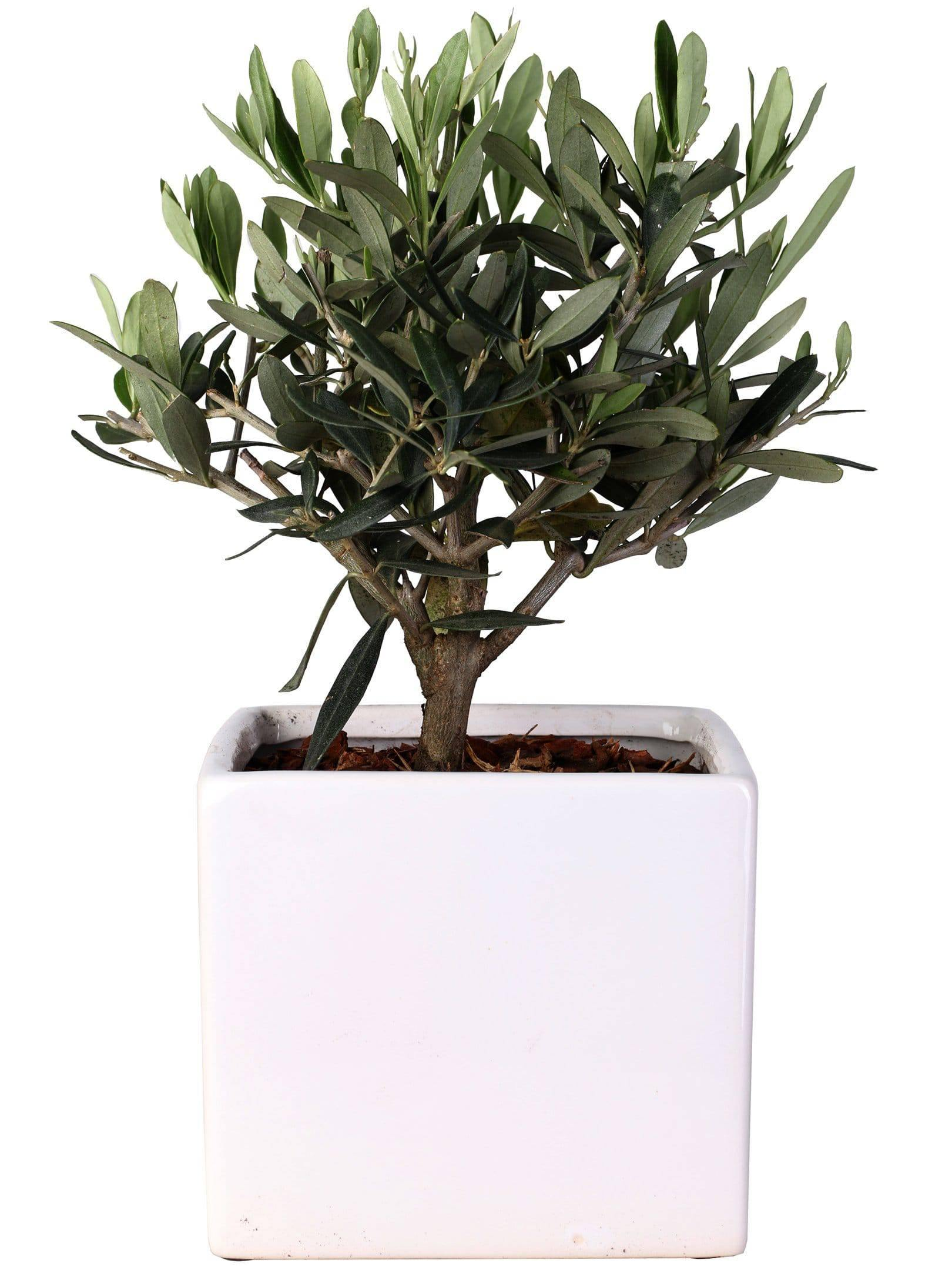 Olive Tree Mini Bonsai In Ceramic Vase Square Diameter 14 Cm - Casita Hermosa