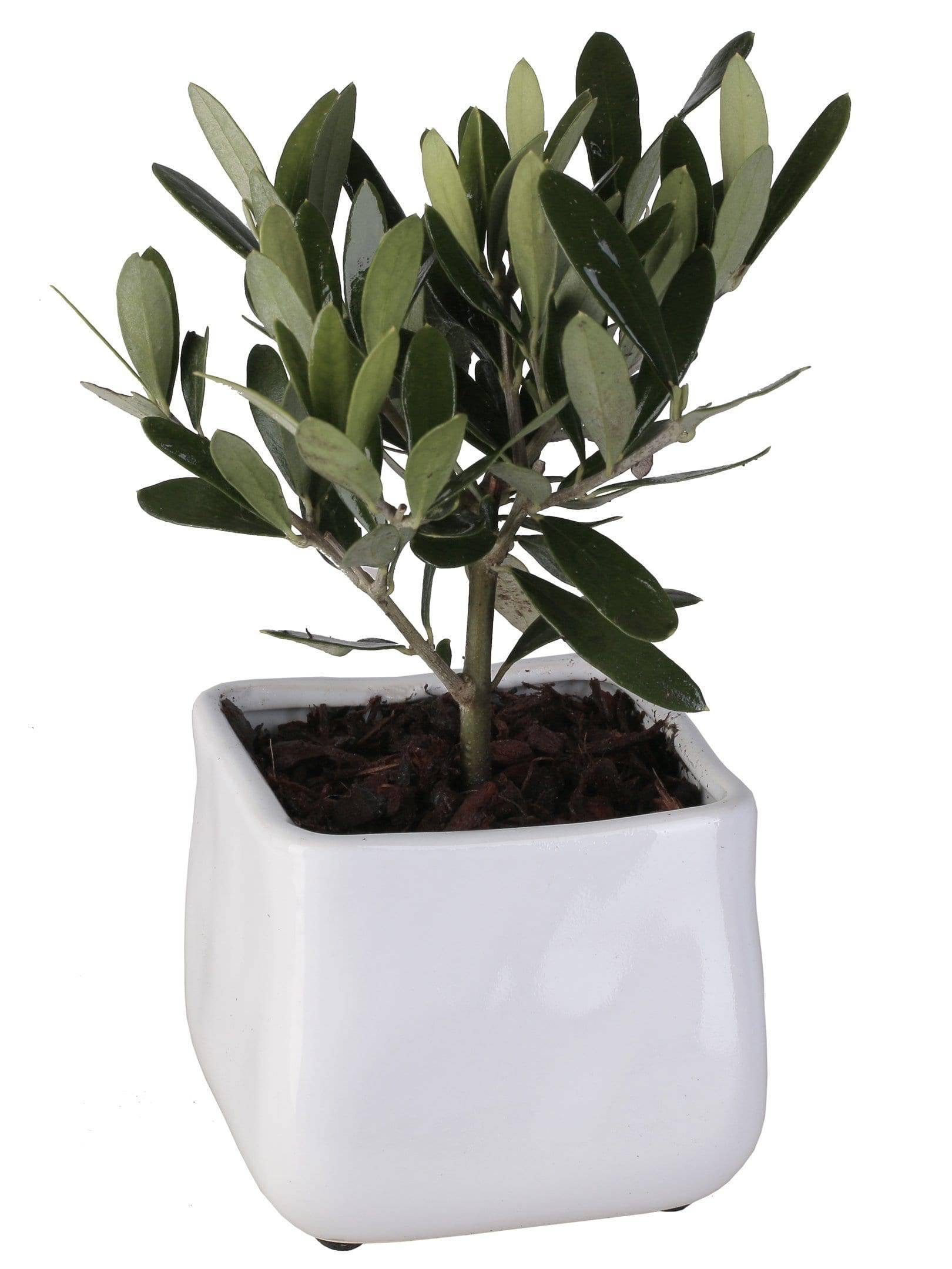 Olive Tree In Wavy Square Vase Diameter 10 Cm - Casita Hermosa