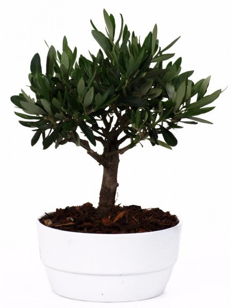 Olivo Mini Bonsai In Vaso Ceramica Bianco Diametro 16 Cm - Casita Hermosa