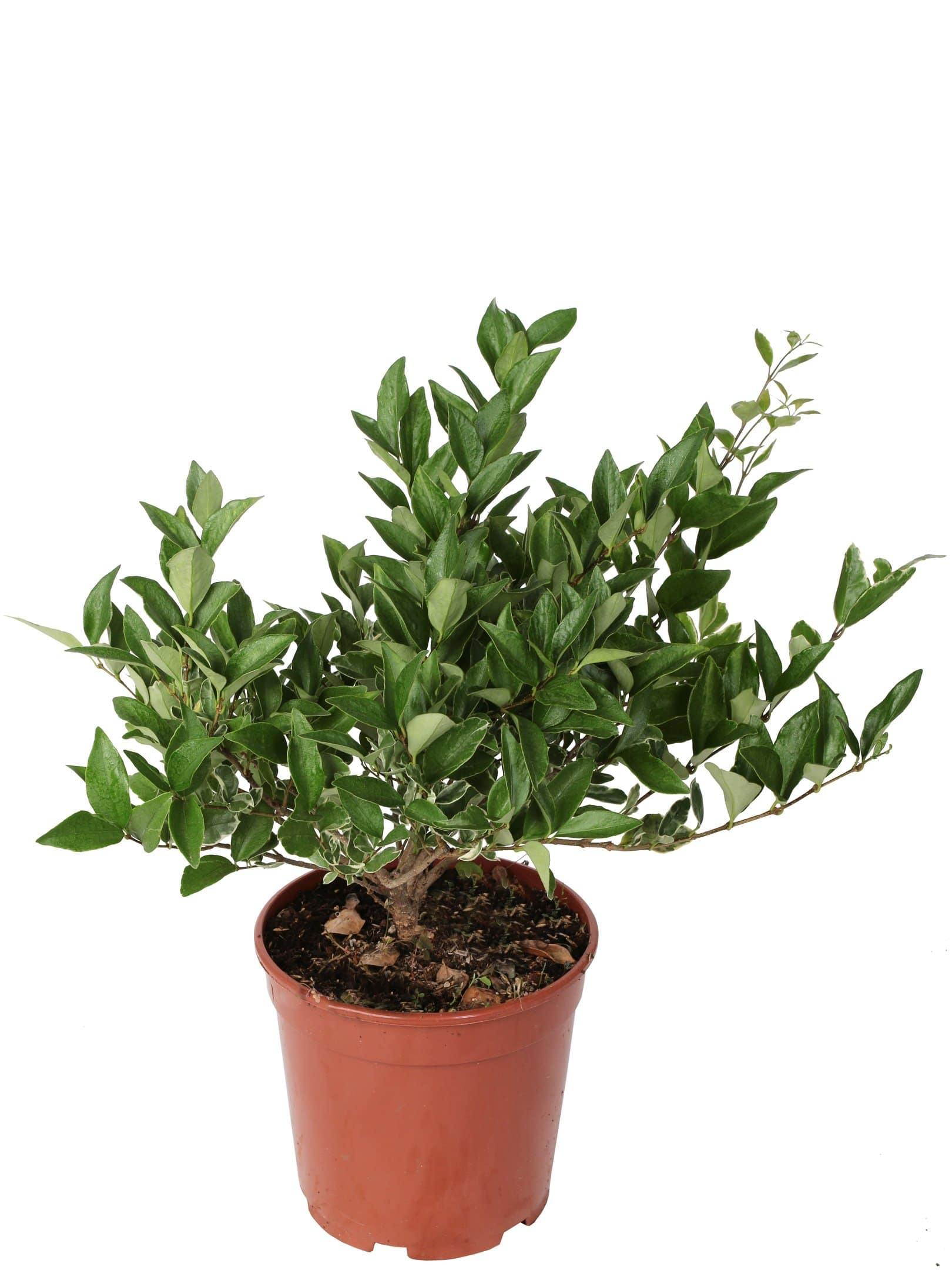 2 plantes de divers Texan Ligustrum Diamètre 21 Cm. - Casita Hermosa
