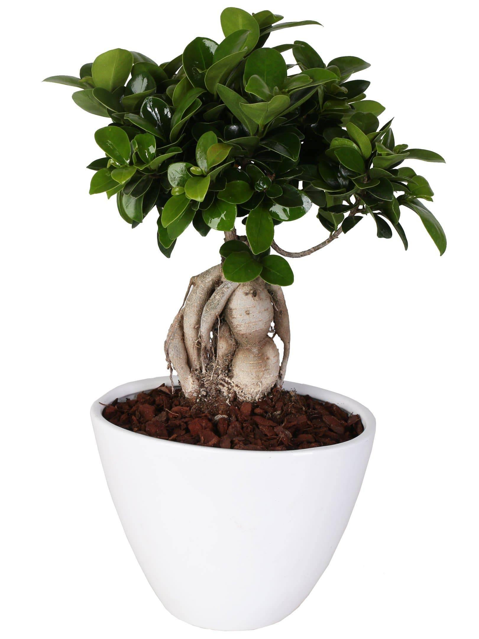 "Bonsai Ficus Microcarpa ""Ginseng"" in Ceramic boat Diameter 18 cm. - Casita Hermosa"