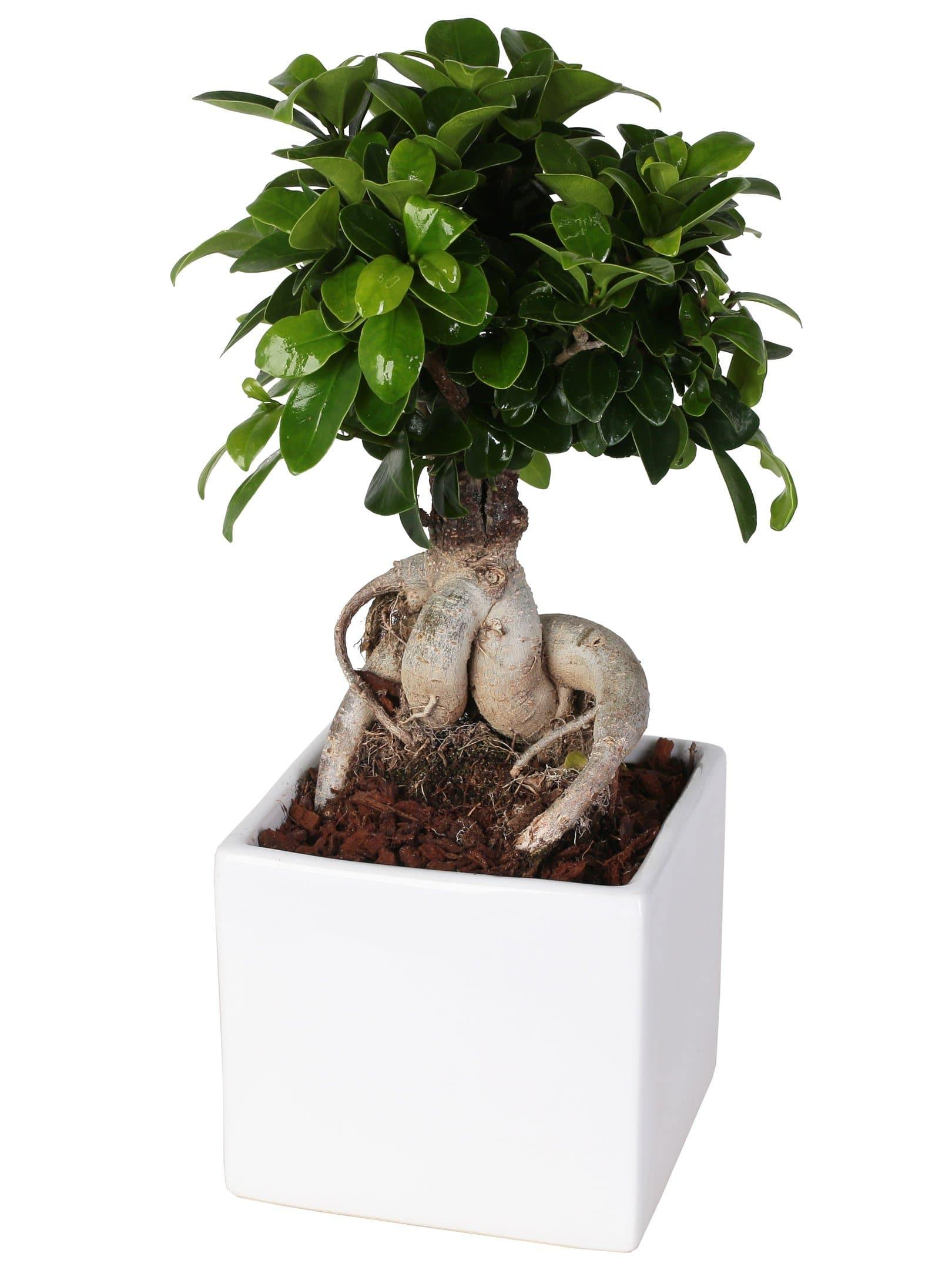 "Bonsai Ficus Microcarpa ""Ginseng"" Ceramic Square Diameter 14 Cm. - Beautiful Little House"