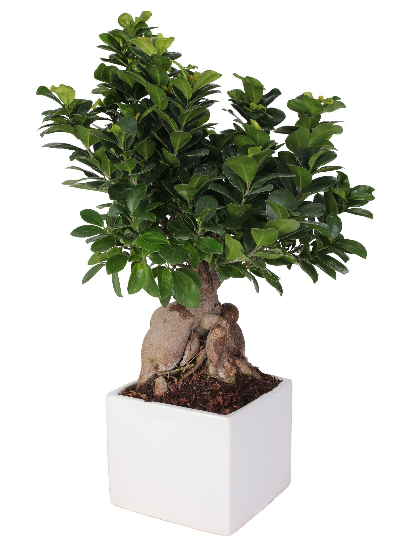 "Bonsai Ficus Microcarpa ""Ginseng"" In Ceramica Quadrata Diametro 18 Cm. - Casita Hermosa"