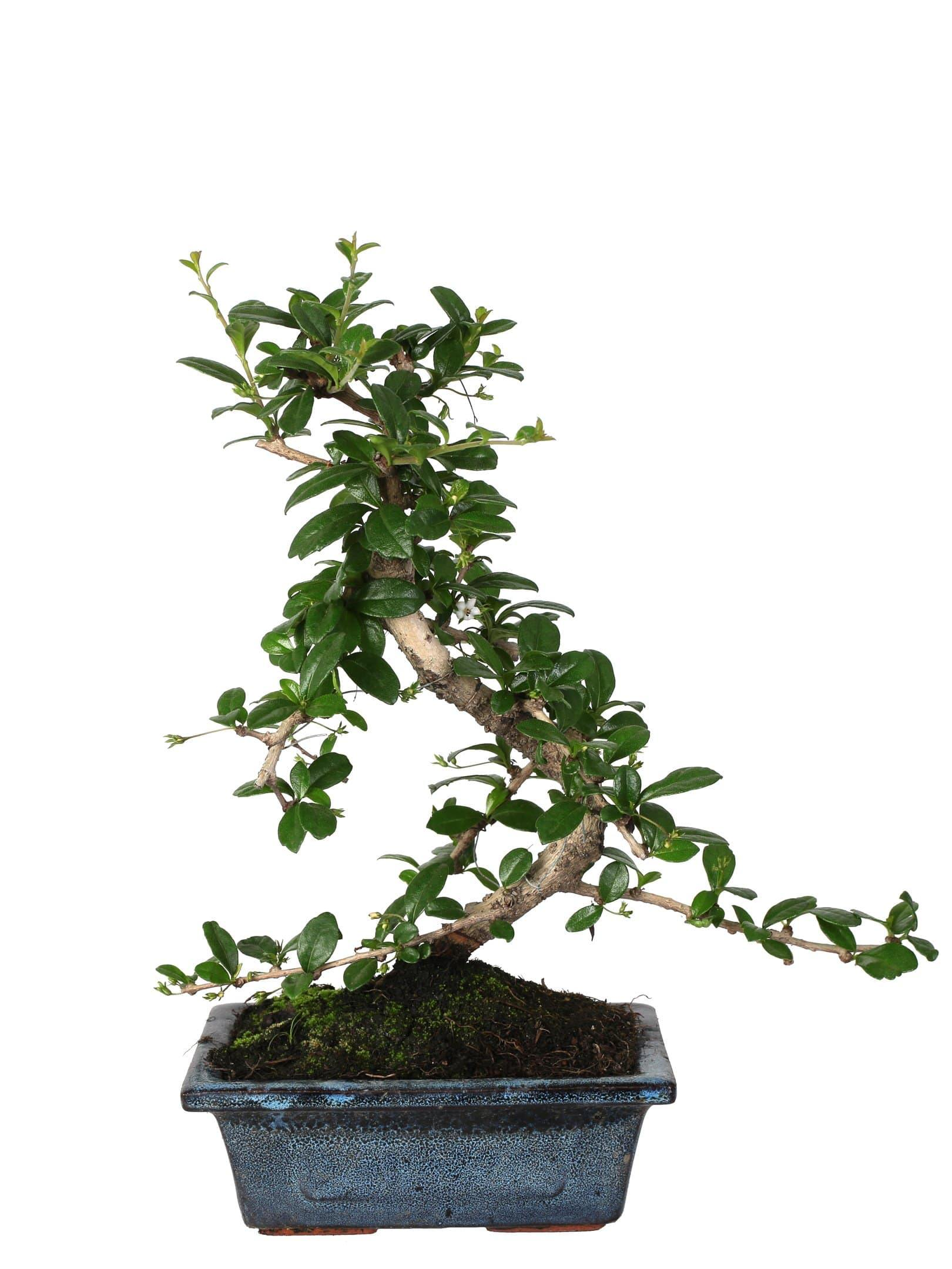"Bonsai Di Carmona (S "" Shape) In Ceramic Pot Diameter 15 Cm. -Casita Hermosa"
