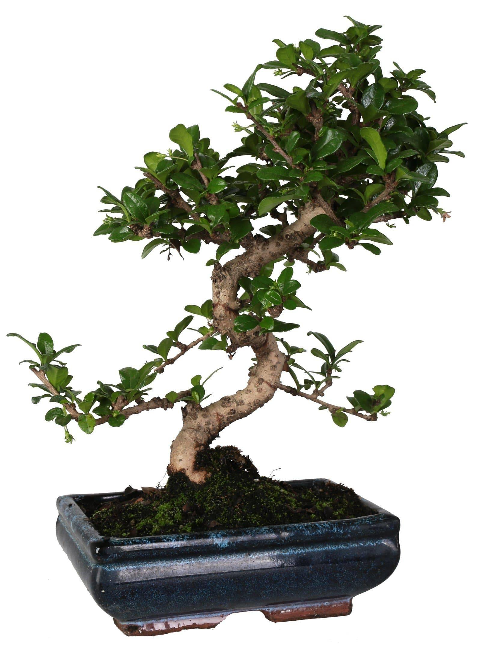 "Carmona Bonsai (""S"" -vorm) In Keramiek Pot Diameter 20 Cm. - Casita Hermosa"