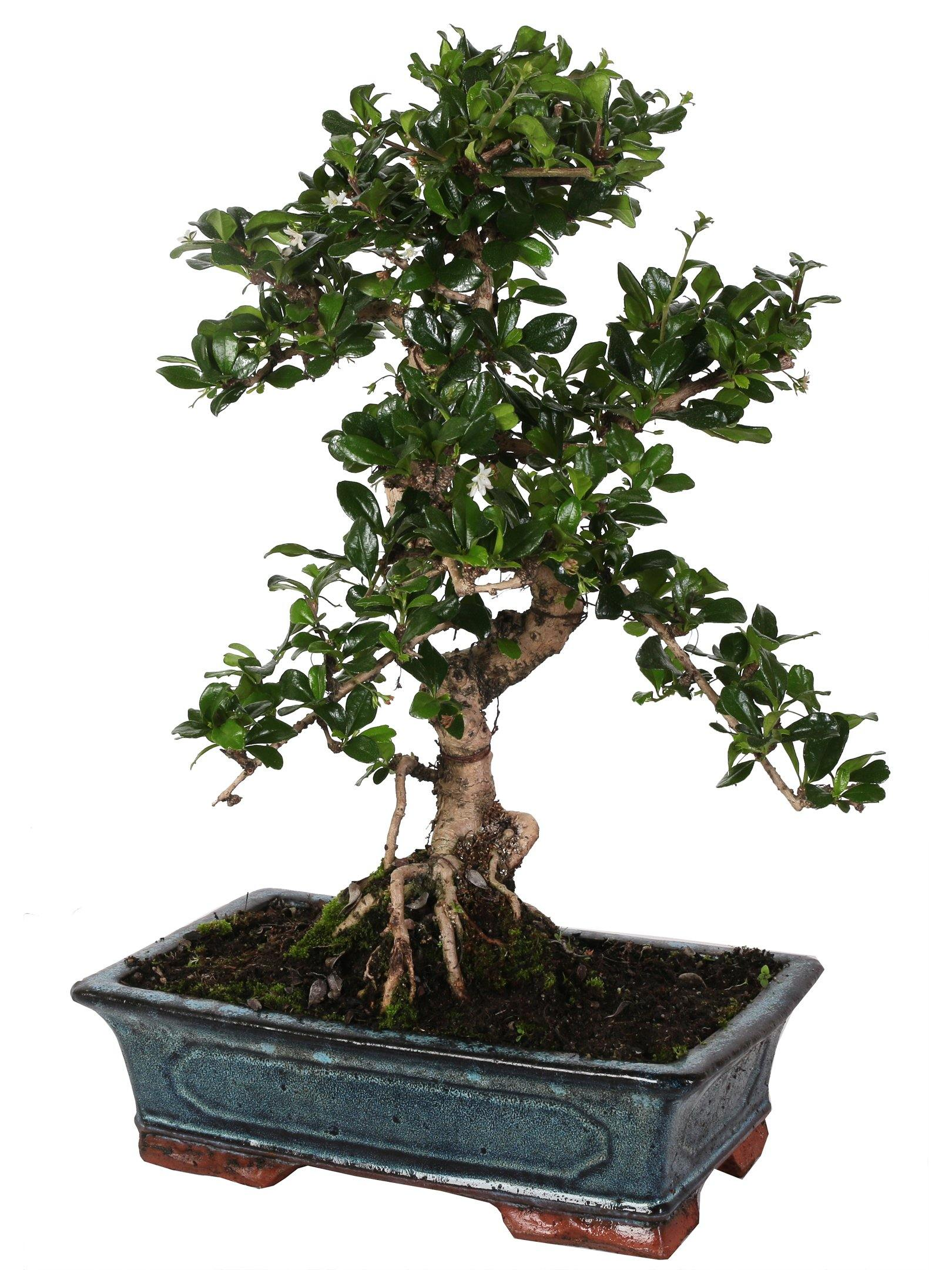 "Bonsai Di Carmona (""S"" Vorm) In Vaso Ceramica Altezza 45 Cm. - Casita Hermosa"