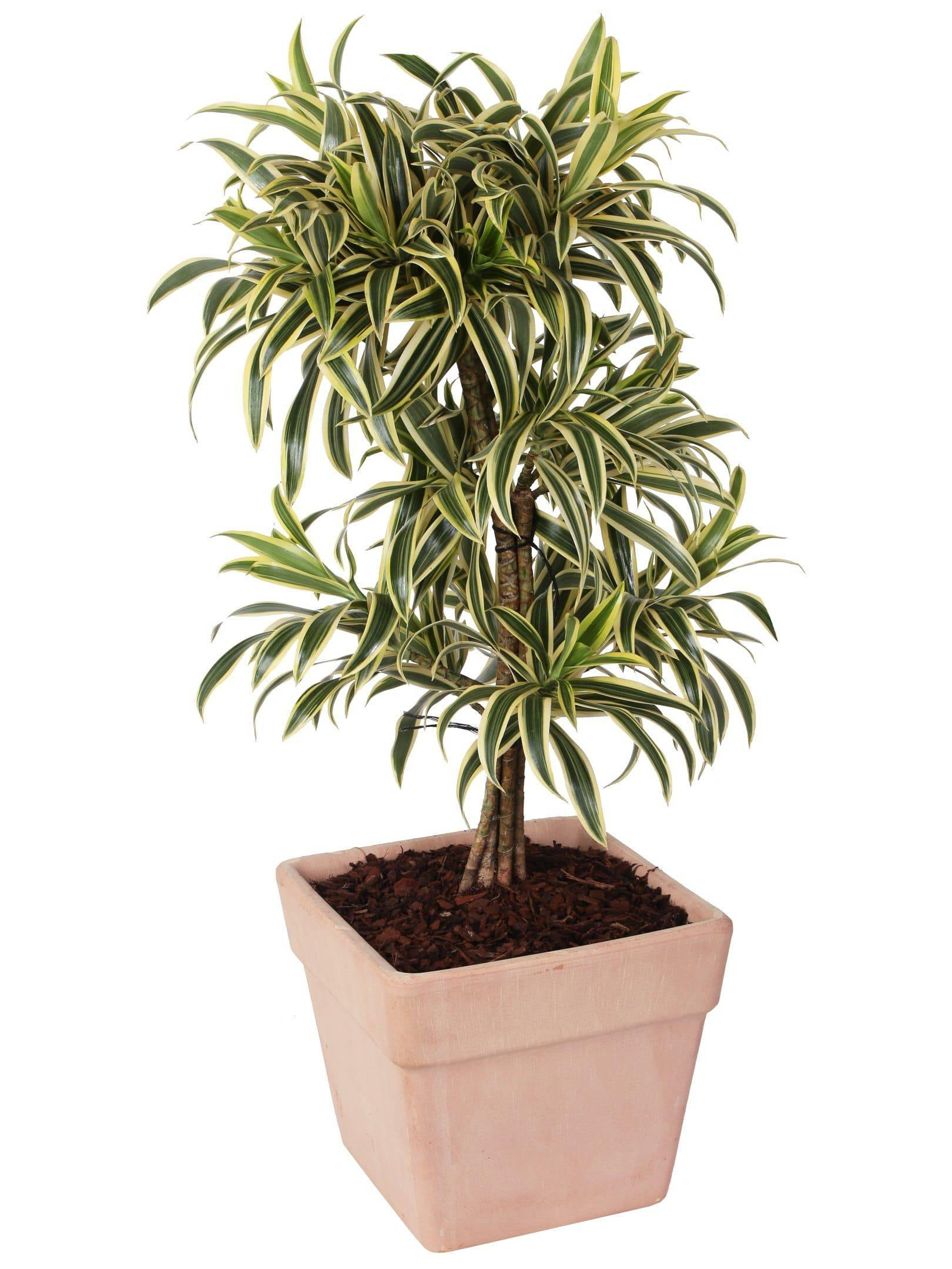Dracaena Reflexa Pleomele Song of India en pot en terre cuite hauteur 95/100 cm. - Casita Hermosa