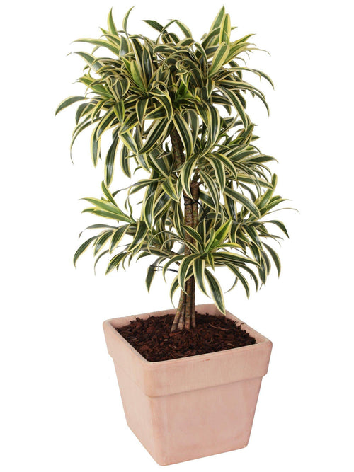 Dracaena Reflexa  Pleomele Song of India in vaso terracotta altezza 95/100 cm. - Casita Hermosa