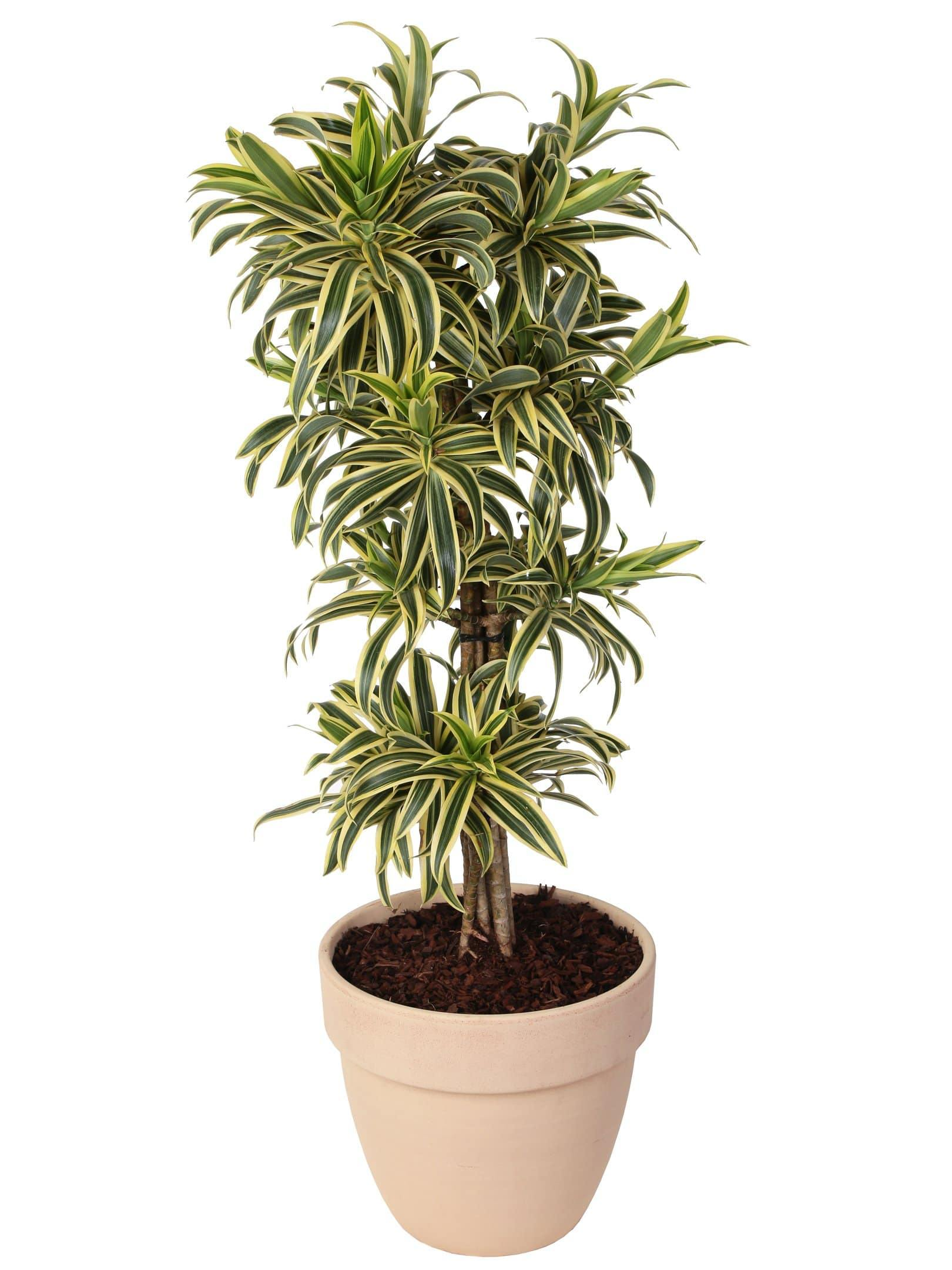 Dracaena Reflexa Pleomele Song of India in vaso terracotta altezza 120 cm. - Casita Hermosa