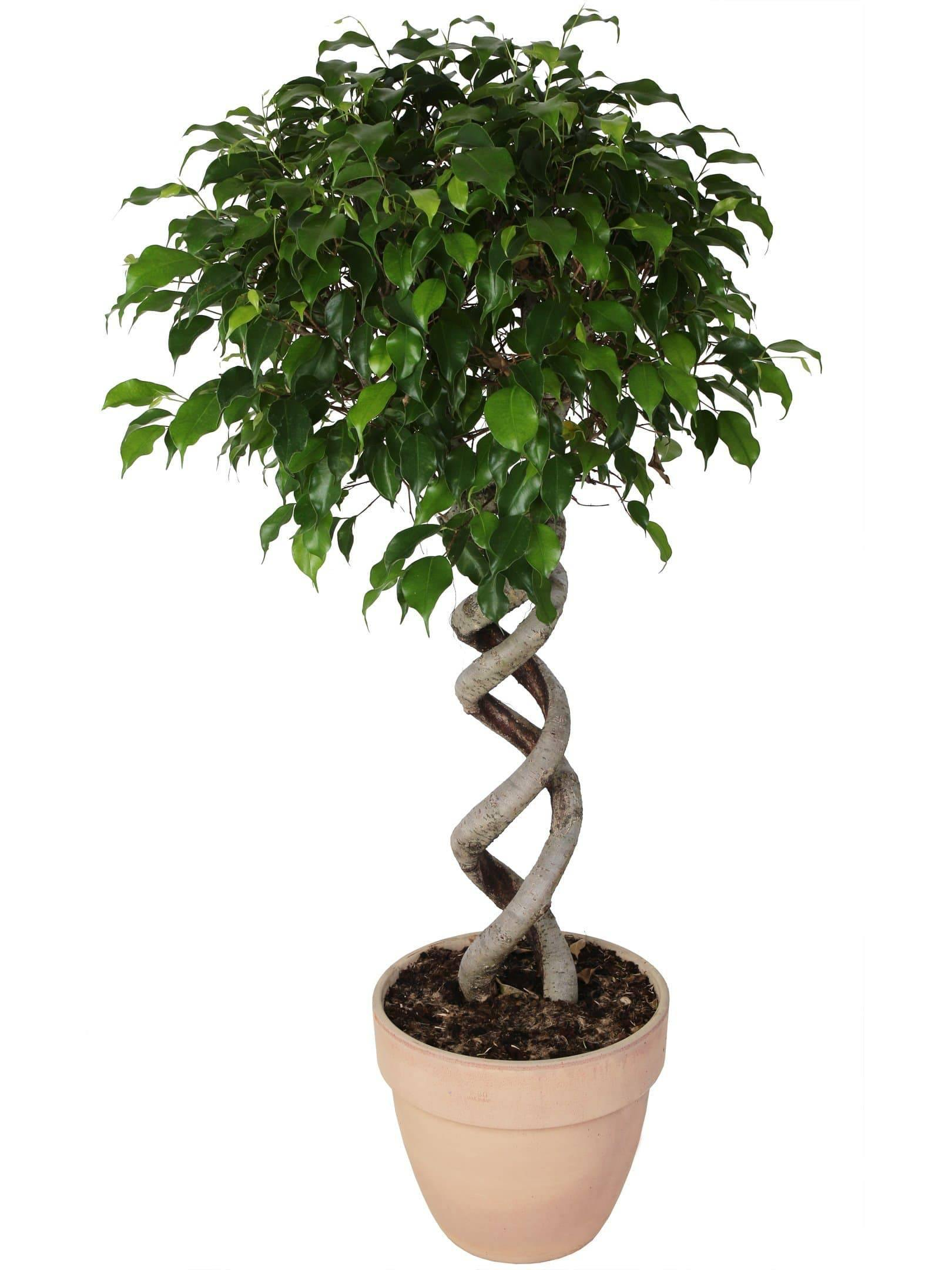 Ficus Exotica Double Spiral Diameter 30 cm. In Terracotta Highness 135 Cm. -Casita Hermosa