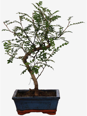 "Bonsai Pepper (""S"" Form) Vaso Ceramica Diametro 15 Cm. - Casita Hermosa"