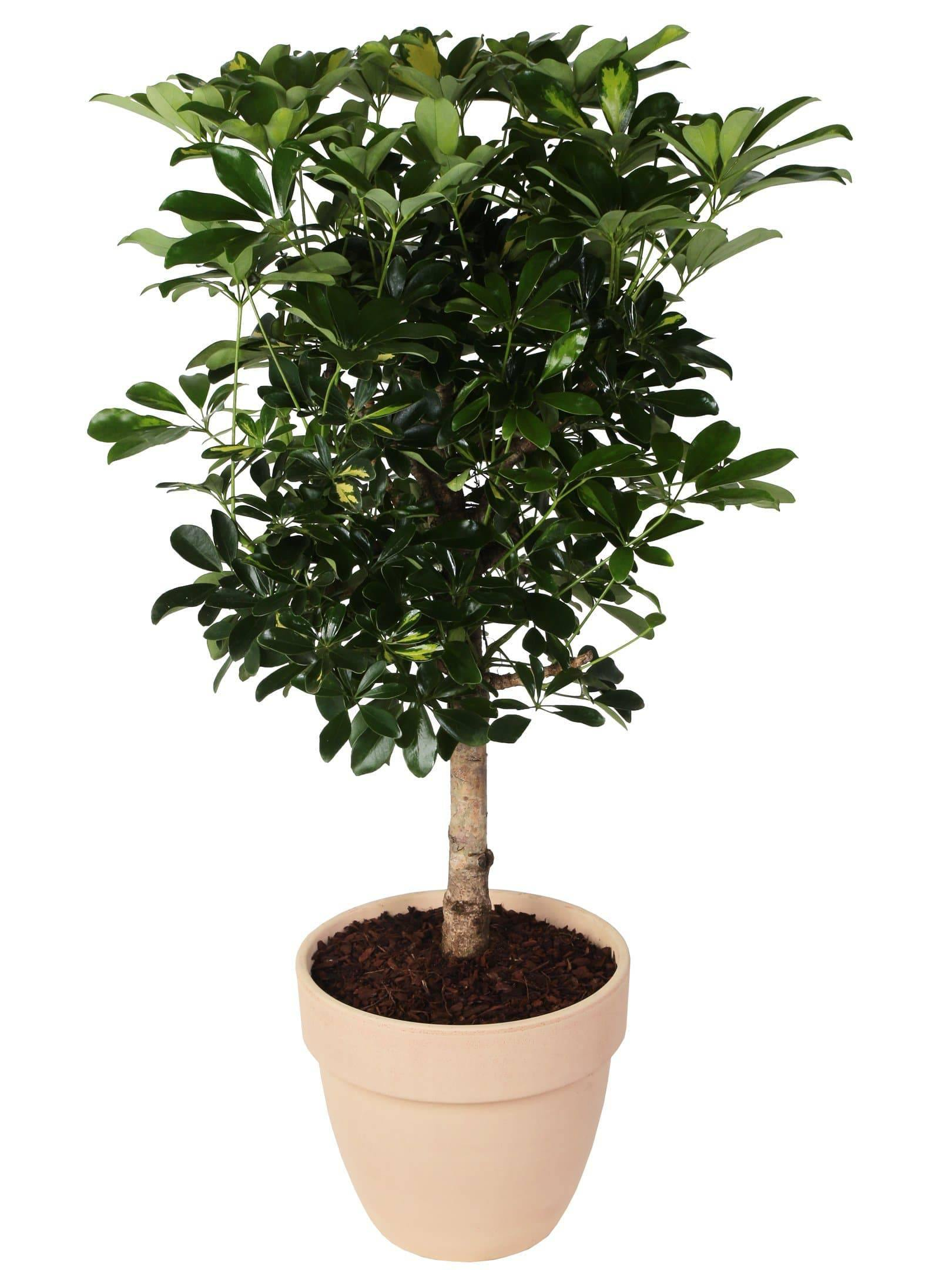 "Schefflera ""Gold Capella"" Small tree in terracotta pot, height 150 cm. - Casita Hermosa"
