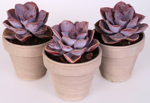 3 Piante Di Echeveria Pearl Of Nuremberg In Terracotta Diametro 11 Cm.