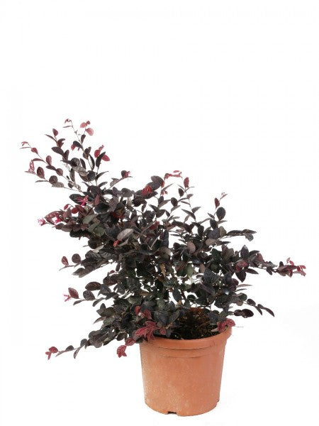 Loropetalum  Black Pearl Diametro 24 Cm - Casita Hermosa