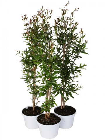 2 Piante Di Punica Granatum Diametro  20  Cm - Casita Hermosa