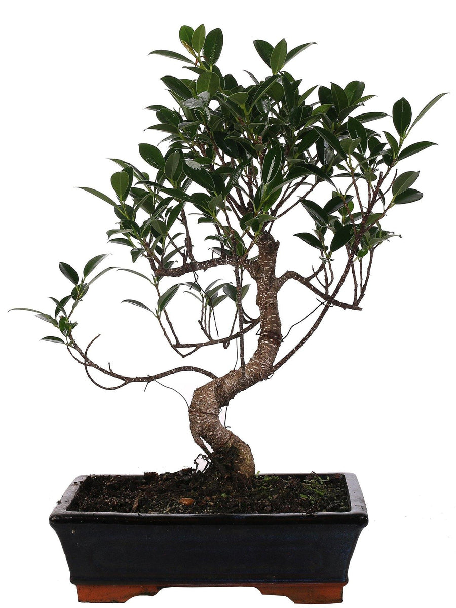 Bonsai di Ficus Retusa (S shape) in vaso ceramica Ø25 Cm./H 40 Cm. - Casita Hermosa