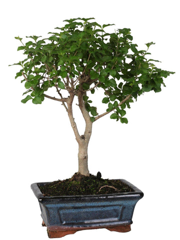 Bonsai di Ligustrum (Ball Shape) in vaso ceramica Ø15 Cm./H 25 Cm. - Casita Hermosa