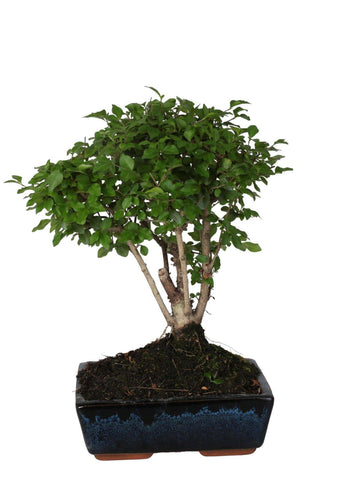 Bonsai di Ligustrum (Ball Shape) in vaso ceramica Ø20 Cm./H 30 Cm. - Casita Hermosa
