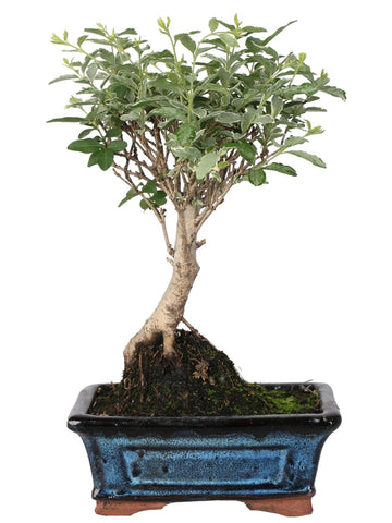 Bonsai di Ligustrum variegato (Ball Shape) in vaso ceramica Ø15 Cm./H 25 Cm. - Casita Hermosa