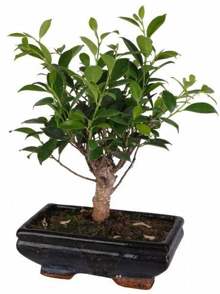 Bonsai Ficus (Ball Shape) in vaso ceramica Ø20 Cm./H 36 Cm. - Casita Hermosa