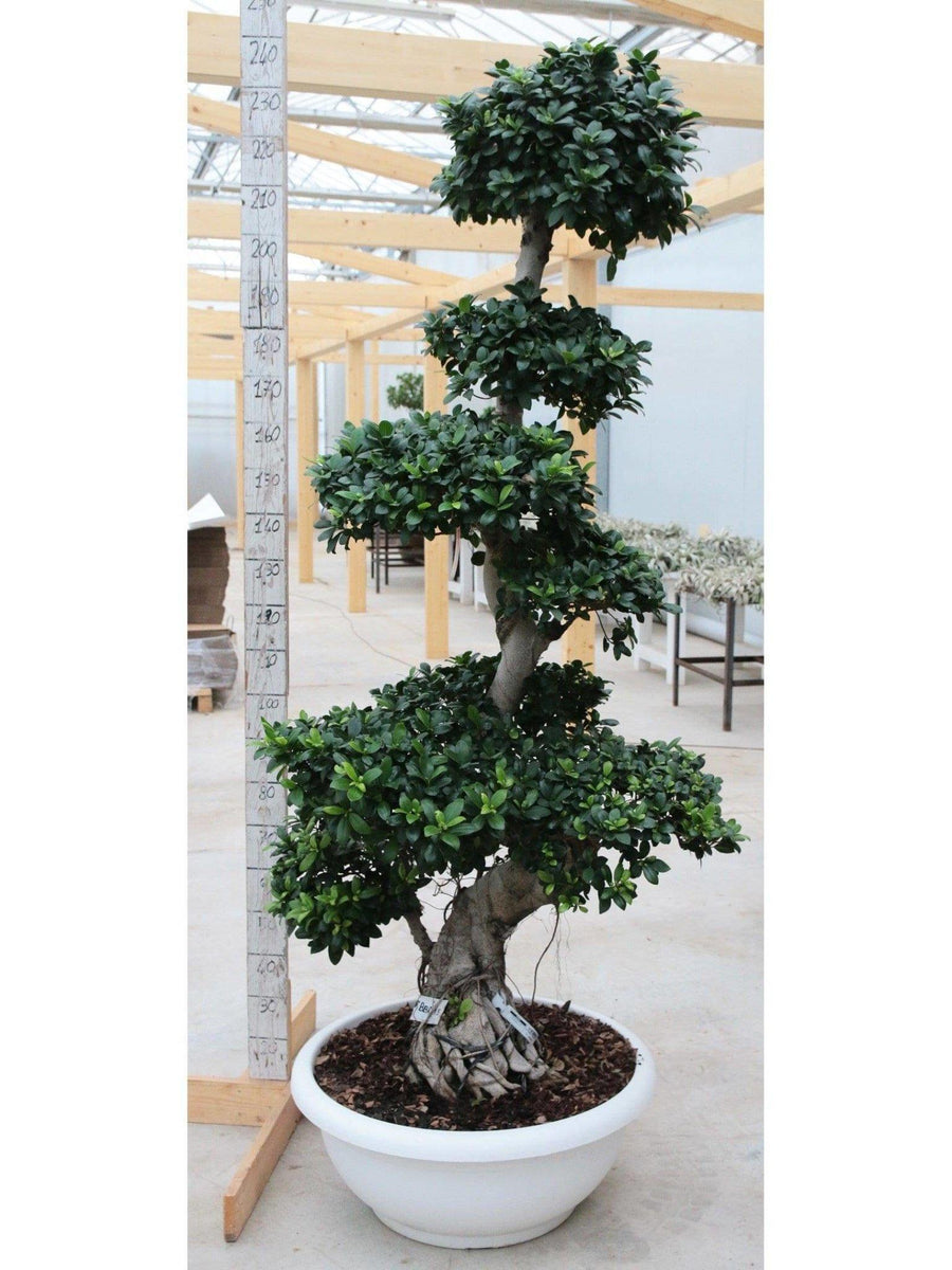 Bonsai Ficus 'Big Boom Root' /H 240 Cm. - Casita Hermosa