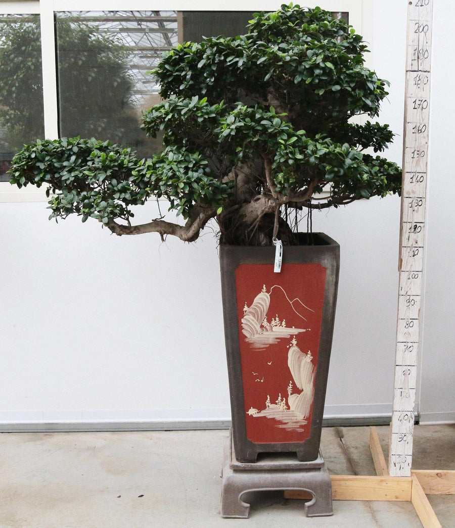 Bonsai Ficus Big (V Shape) /H 210 Cm. - Casita Hermosa