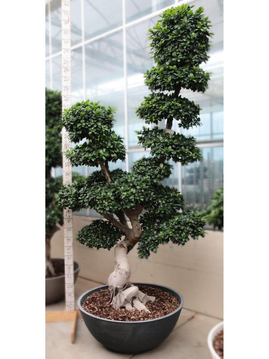 Bonsai Ficus 'High Dragon' shape /H 340 Cm. - Casita Hermosa