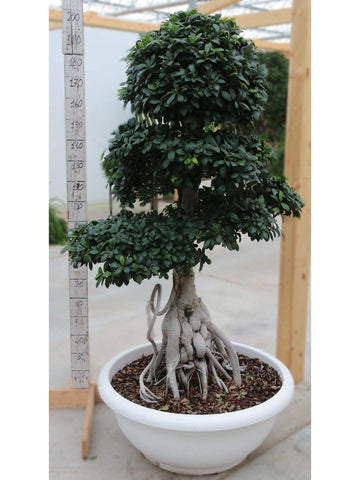 Bonsai Ficus 'King Of Ginseng' small /H 200 Cm. - Casita Hermosa