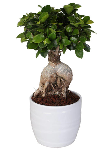 Bonsai Ficus microcarpa 'Ginseng' in ceramica a righe Ø13 Cm./H 40 Cm. - Casita Hermosa