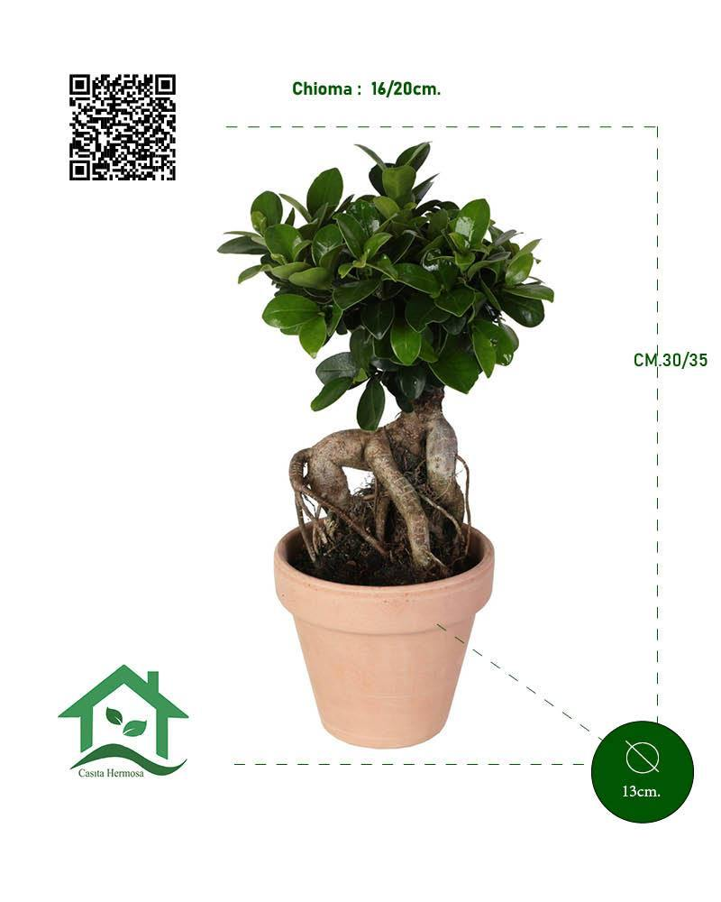 Bonsai Ficus microcarpa 'Ginseng' in terracotta Ø13 Cm./H 35 Cm. - Casita Hermosa