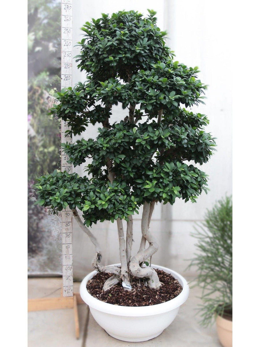 Bonsai Ficus (Multi-Stem) large /H 270 Cm. - Casita Hermosa