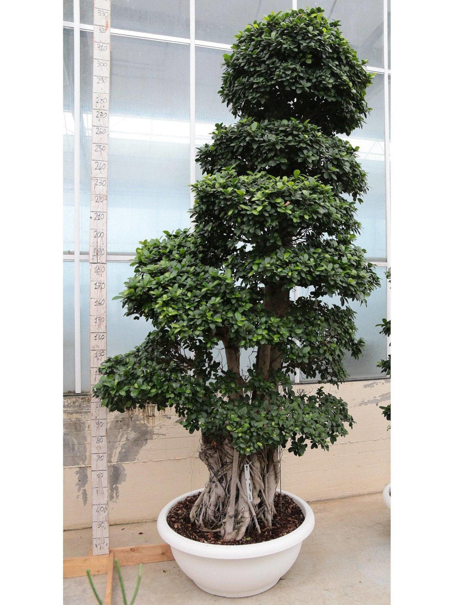 Bonsai Ficus (Multiroot) big /H 340 Cm. - Casita Hermosa