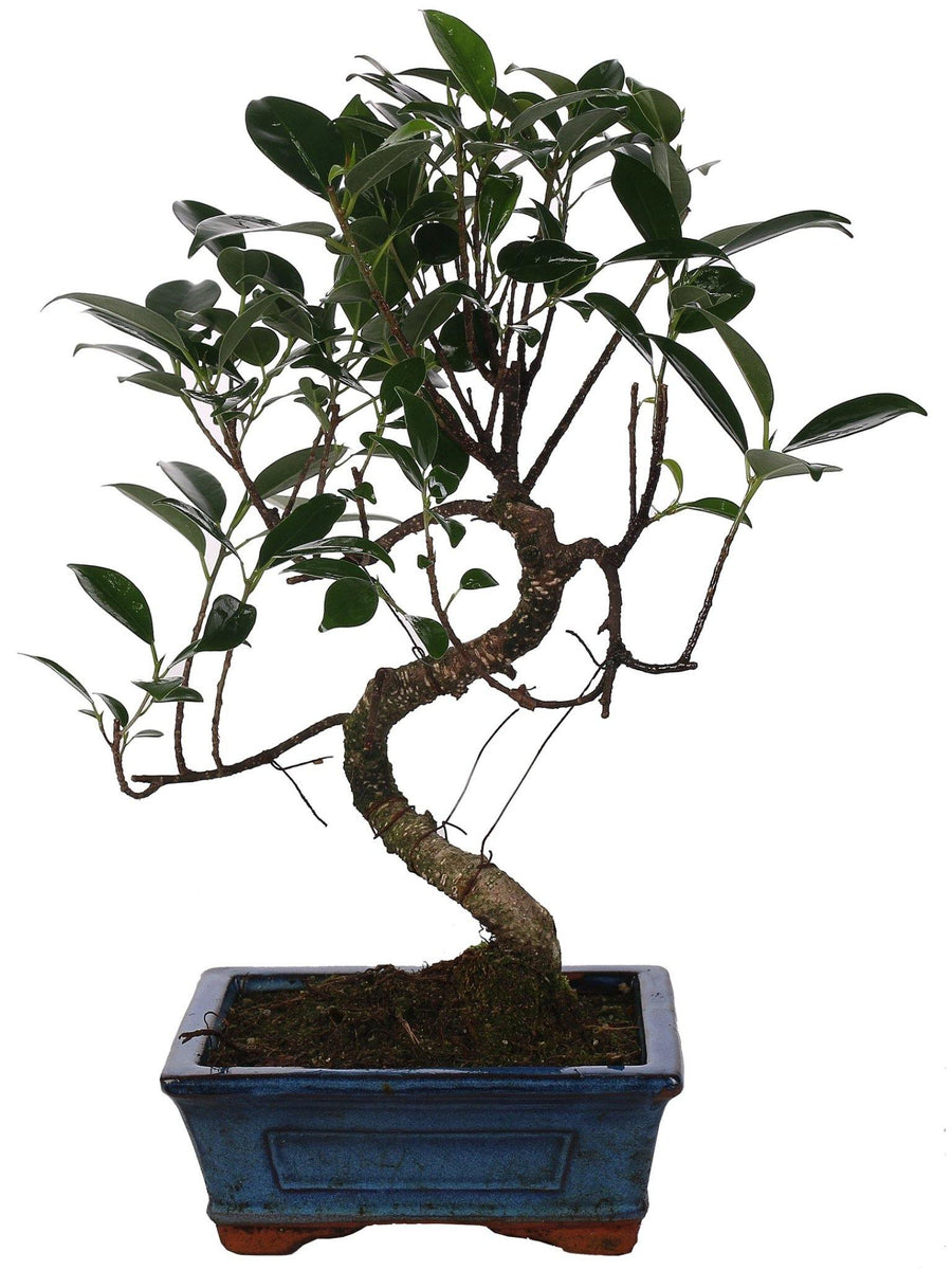 Bonsai Ficus ('S' Shape) in vaso ceramica Ø15 Cm./H 22 Cm. - Casita Hermosa
